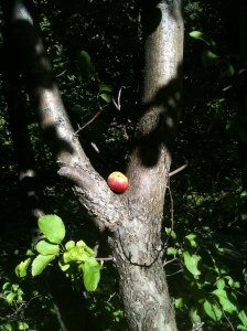 Apple resting the the crook of a tree